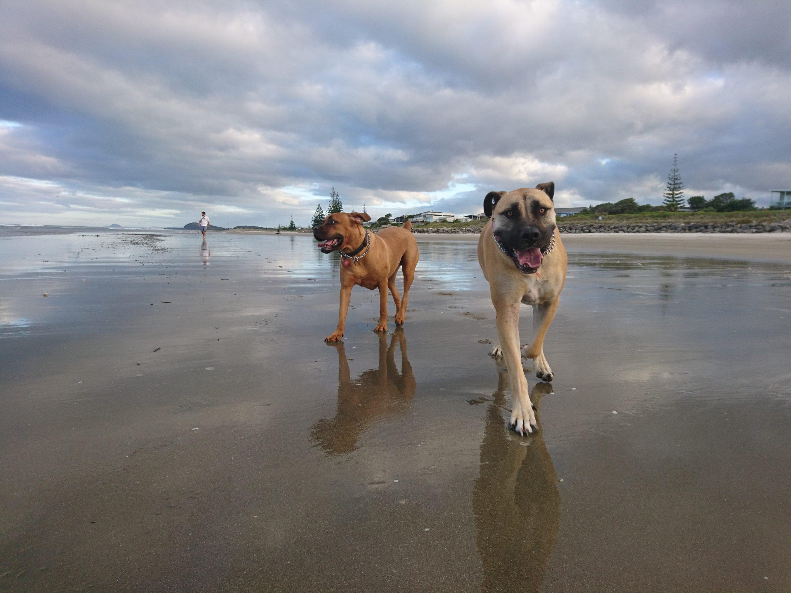 Meila & Lacy - Mastiff